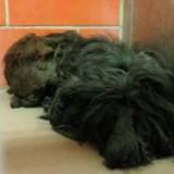 Ils voient un chien enfoui sous des kilos de poils, quelques heures après sa métamorphose est incroyable
