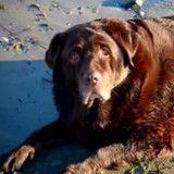 Ce chien obèse qui a perdu plus de 27 kilos est méconnaissable (Photos)