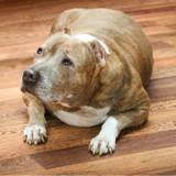 L'obésité peut faire perdre jusqu'à 2 ans et demi de vie à votre chien
