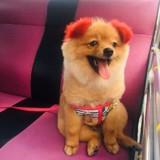 Elle teint les oreilles de son chien en rouge, rien ne se passe comme prévu