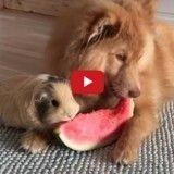 Un chien et un cochon d'Inde partagent un repas en amoureux (Vidéo du jour)