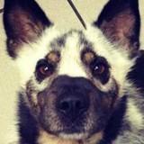 13 chiens qui ont des pelages vraiment incroyables (Photos)