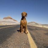 Voici pourquoi il ne faut jamais laisser son chien monter à l'avant en voiture