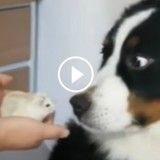 Ce chien est totalement terrorisé par un hamster ! (Vidéo du jour)