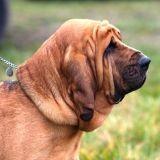 Un chien pisteur à la recherche d'un Nantais disparu