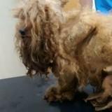 Ils soignent un chien à la fourrure emmêlée, quand ils le rasent ils font la plus triste des découvertes