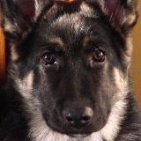 Un chien policier héroïque tué dans l'exercice de ses fonctions