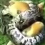Il voit un python enroulé autour de son chien et se précipite pour faire quelque chose d'incroyable (Vidéo)