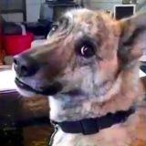 Excellent : le chien qui parle ! (Vidéo du jour)