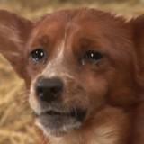 Séparé d'un ami très spécial, ce chien éclate en sanglots et la vidéo touche le monde entier