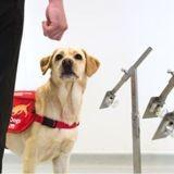 Royaume-Uni : des chiens renifleurs formés pour dépister le coronavirus