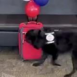 Le chien renifleur s'approche d'une valise : quelques secondes plus tard, il a la surprise de sa vie !