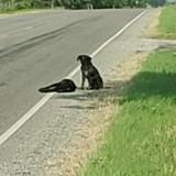 Sauvetage déchirant : un chien refuse de quitter le corps de sa soeur sur le bord de l'autoroute