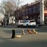 Des chiens errants bloquent la circulation, quand le conducteur comprend pourquoi il est bouleversé