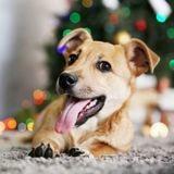 Quelles sont les solutions pour faire garder son chien à Noël ?