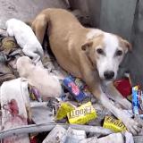 Le bouleversant sauvetage d'une chienne blessée qui élevait ses chiots dans les ordures...