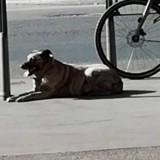 Il attache son chien en plein soleil à Lyon et l'abandonne durant des heures