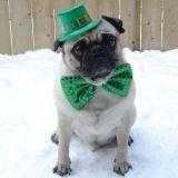 10 chiens qui célèbrent la Saint Patrick