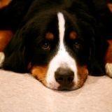 Suisse : taxe sur le chien non payée ? Euthanasie