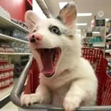 Ce chien est beaucoup trop heureux d'aller au supermarché (Photos)