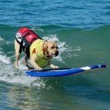 En Californie, des chiens participent à une compétition de surf !