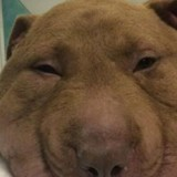 Le chien a la tête extrêmement gonflée : la vétérinaire pleure quand elle comprend pourquoi