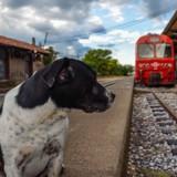 Ce chien a sauvé son maître d'un terrible accident de train !