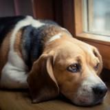 Cette étude prouve que la perte d'un chien fait aussi mal que la perte d'un proche