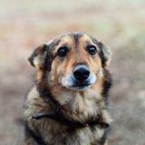 Ce chien refuse de quitter le cercueil de son maître défunt, et cela fend le cœur (Vidéo)