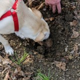 Cette « université » canine apprend aux chiens comment trouver des truffes !