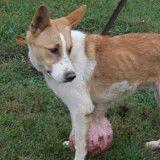 Il demande à ce que son chien soit euthanasié à cause d'une tumeur, le refuge lui sauve la vie (Vidéo)