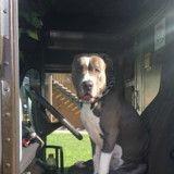 Déchirant ! Ce chien perd sa maitresse, un livreur au grand cœur lui offre une nouvelle vie
