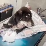 Un chien errant est déposé chez le vétérinaire : tout d'un coup, il se met à enfler et tout le monde est sous le choc