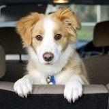 Comment apprendre à mon chien à rester calme en voiture ?