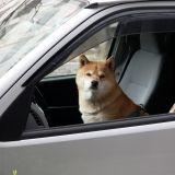 Enfermé dans la voiture, le chien est sauvé par des policiers