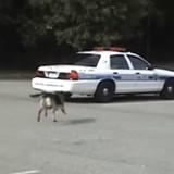 Le chien policier se précipite vers une voiture, ce qu'il fait ensuite laisse tout le monde sans voix (Vidéo)