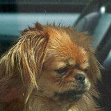 Ce chien laissé dans une voiture au soleil a été ignoré par des centaines de passants (Vidéo)