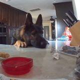 Seul à la maison, ce chien s'apprêtait à voler de la nourriture lorsqu'il a été surpris par une voix (Vidéo)