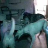 La vidéo de surveillance de ce refuge a révélé un des chiens les plus intelligents au monde !