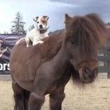 A dos de cheval, ce chien est le meilleur des cavaliers qui soit ! (Vidéo du jour)