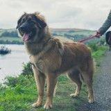 D'après la science, les chiens les plus grands vivent moins longtemps