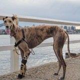 Grâce à sa prothèse de patte bionique, ce Lévrier a retrouvé sa joie de vivre