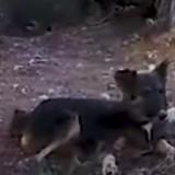 Il abandonne sa chienne dans la montagne : ce que le vétérinaire découvre à la radio est horrible