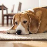 Quels sont les symptômes d'une grossesse nerveuse chez la chienne ?