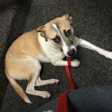Cette chienne adoptée dans un refuge ne supportait pas la solitude, elle a trouvé le plus étonnant des amis