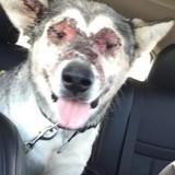 Cette chienne a le visage grièvement brulé et personne ne sait pourquoi