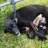 Il voit une chienne attachée à une clôture : en s'approchant, il réalise qu'elle cache un grand secret