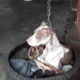 Enchainée, cette chienne ne pouvait pas poser sa tête alors quelqu'un a fait la seule chose à faire