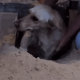 Il sauve la vie d'une chienne gestante enterrée vivante par des ouvriers