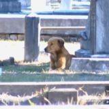 Les tristes images d'une chienne refusant de quitter la tombe de son petit